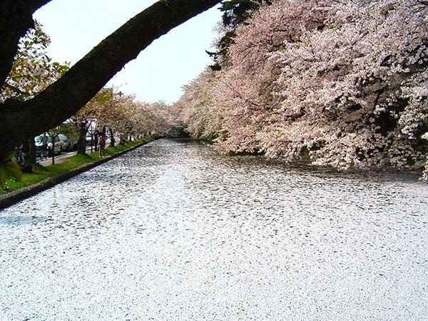 Sakura, Castle Hirosaki